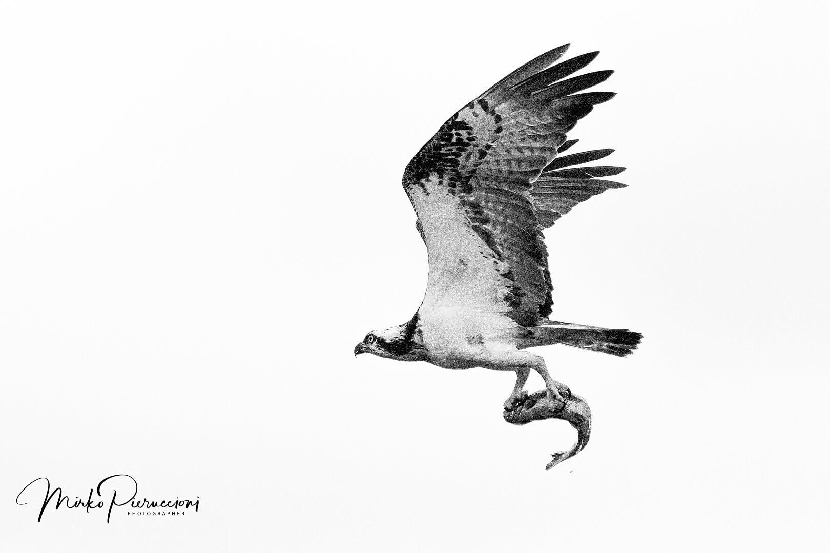 Finlandia-Falco-Pescatore-2017-1