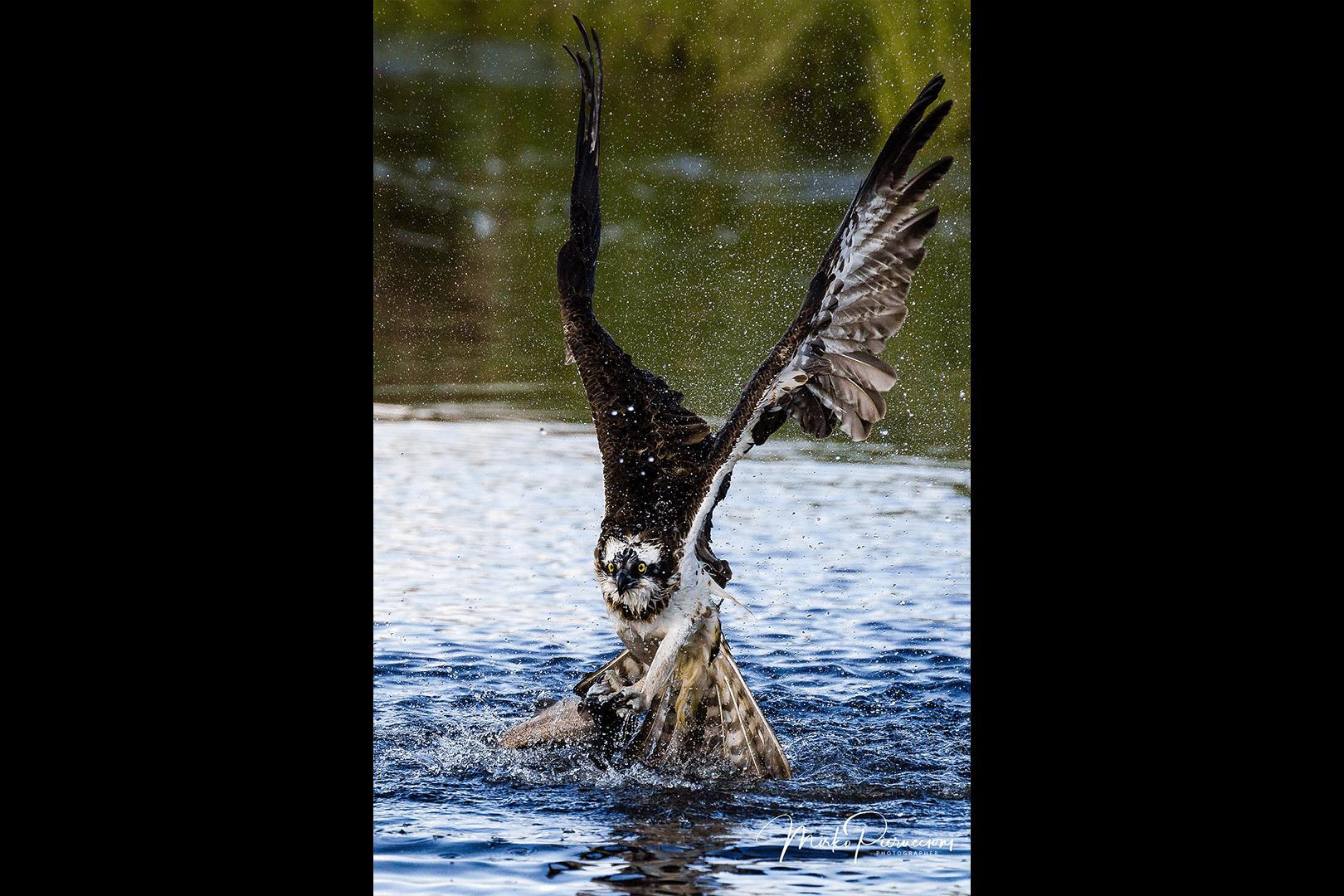 Finlandia-Falco-Pescatore-2017-2