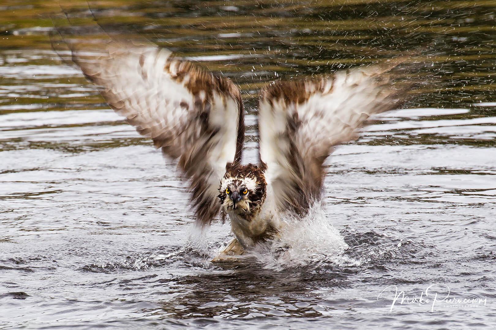 Finlandia-Falco-Pescatore-2017-4