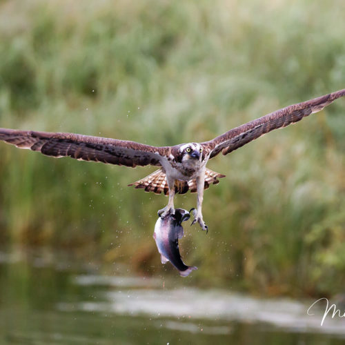 Finlandia Falco Pescatore 2017 Gallery 03