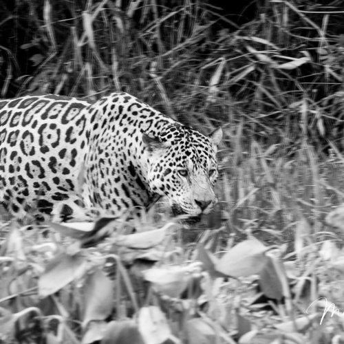 Pantanal Tour 2018 Gallery 25