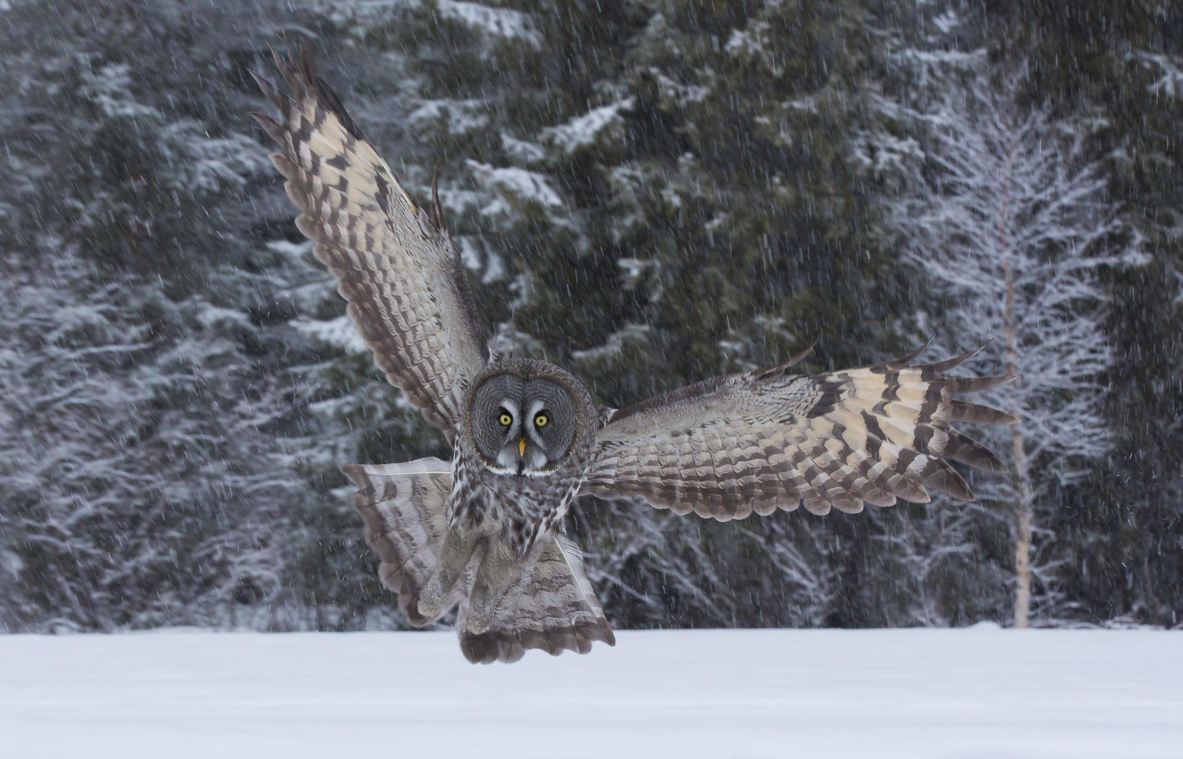 Great-Gray-Owl_4